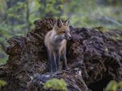 Red Fox Kit on a log