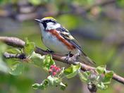 Chestnut Sided Warbler,