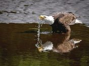 Drinking Eagle