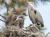 Great Blue Heron Nest (8399)