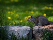 Canadian squirrel