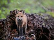Fox on A Log