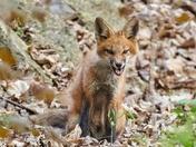 Nasty Looking Fox
