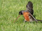 Robin getting a worm