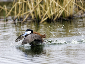 Ruddy Duck Courting 1