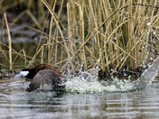 Ruddy Duck Courting 2