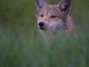 Coyote always on guard