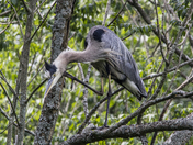 Blue Heron Scratching Its Head