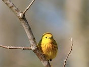 A yellow warbler