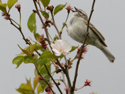 Chipping sparrow on cherry branch