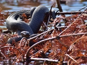 Northern watersnakes.