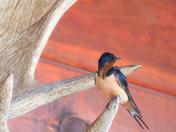 Barn Swallow on an Antler