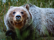 Drooling Grizzly
