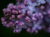 Lilac buds and  blooms