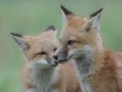 Red Fox Kits Sibling Kiss