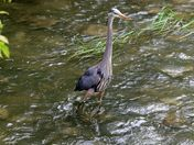 Great Blue heron , Mill Park