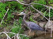 Great Blue Heron  on the Humber River.