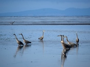 A herd of Herons!