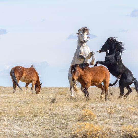 McCullough Peaks Herd Management Area (HMA)