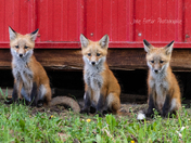3 Foxes at the Red Shed