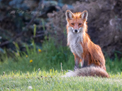 Sitting Pretty Vixen