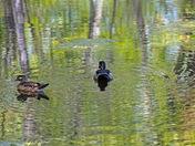 "Wood Ducks at ""Monet"" Lake"