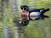 "Male Wood Duck at ""Monet"" Lake"