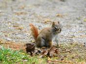 new species of squirrel?