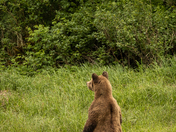 Grizzly on alert