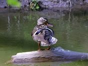 Duck on the Humber River