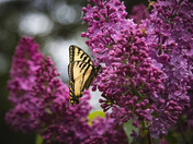 Butterflies and lilacs