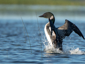 The Great Northern Diver (Common Loon)