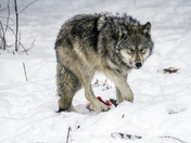 Wolf In Winter With Dinner