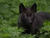Wolf Pup In The Ferns