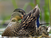 Female Hen Mallard Duck