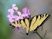 Yellowtail butterfly on my garden phlox