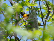 Baltimore Oriole and its nest
