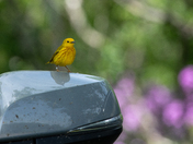 Yellow Warbler on a side view mirror