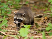 Baby Raccoon