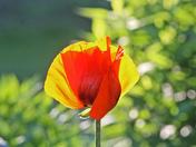 Flowers   Poppy