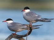One good tern...