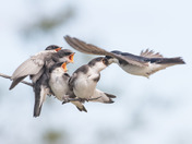 Young Tree Swallows - 2400