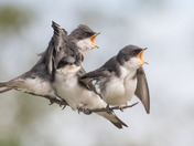 Young Tree Swallows-2368