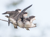 Young Tree Swallows - 2398