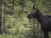 Cow moose at a forest edge