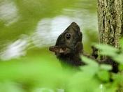 Grey (Black) Squirrel
