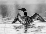 Common Loon wing stretch