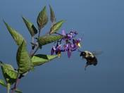 Bee/Bittersweet Nightshade