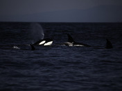 Canada Day Orcas off the BC Coast