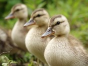 Gadwall Ducklings